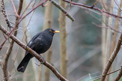 Blackbird - Photo of Bourg-et-Comin