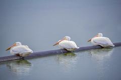 a trio of American White Pelicans