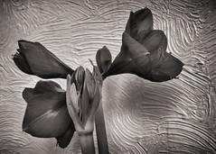 Amaryllis flowers bw