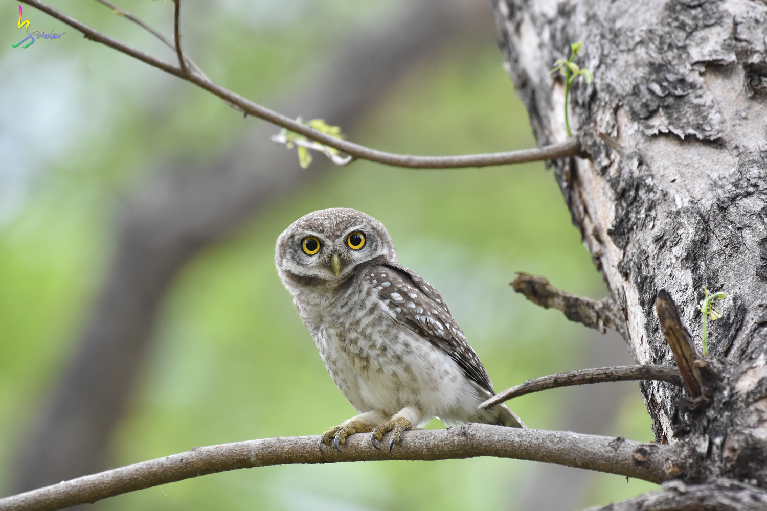 Spotted_Owlet_3949