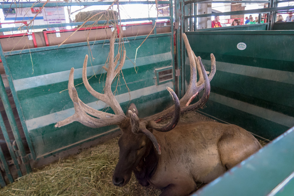 Reindeer at Iowa State Fair