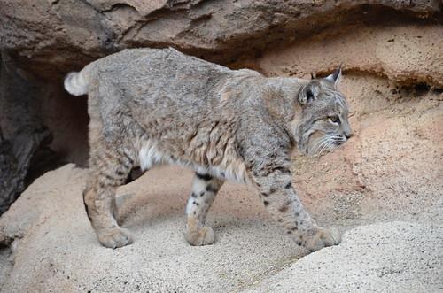 Desert Museum lynx