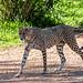 Chester Zoo: Cheetah