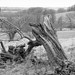 FALLEN TREE, HARDWICK PARK, DERBYSHIRE_DSC_7793_LR_2.5-2