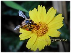 Bee enjoying the beautiful blossom of Sphagneticola trilobata (Singapore Daisy, Creeping-oxeye, Trailing Daisy, Wedelia), Feb 21 2018