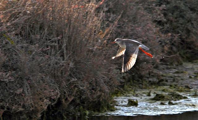 Il volo del totano moro - The flight of the spotted redshank