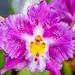 Orchid RHS Wisley 08 February 2018 (46)