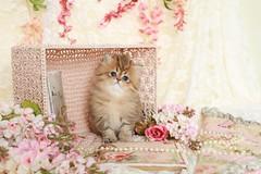 Golden Persian Kittens