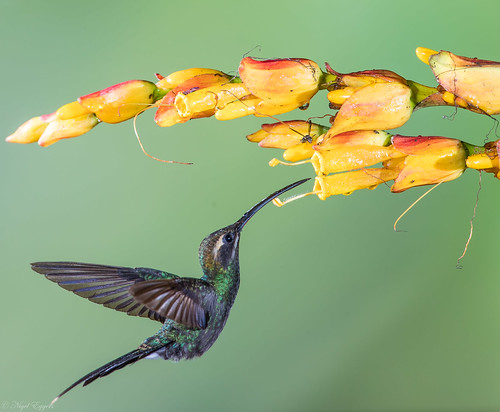 pichincha ecuador ec whitewhiskeredhermit hermit hummingbird phaethornisyaruqui phaethornis phaethornithinae trochilidae nigelje sanjorgedemilpe