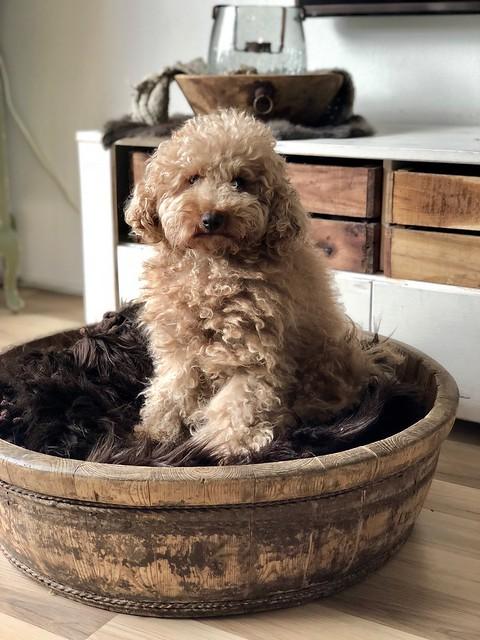 Hondje in houten bak met vachtje