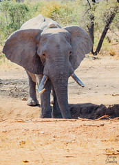 Savannah Elephant VII