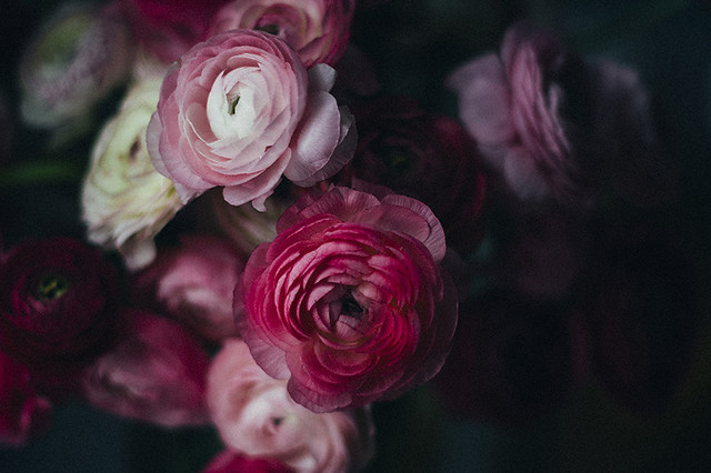 Dark Ranunculus