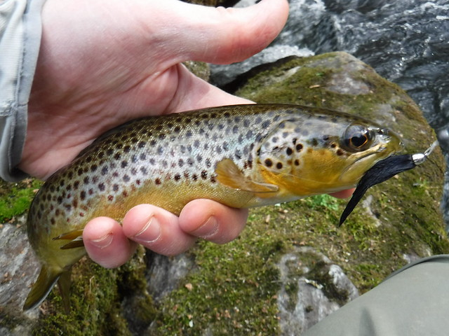 Gunpowder Brown Trout