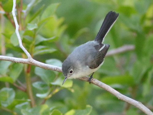 Blue-gray Gnatcatcher 02-20180130