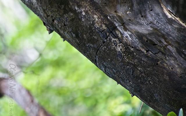 bats 0000 Cenote Azul, Chetumal, Quintana-Roo, Mexico