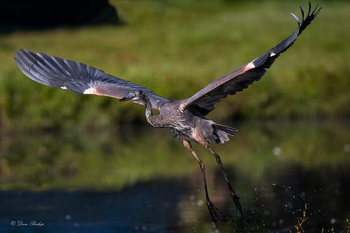 great blue heron feet splash takeoff quarter front view closeup morning light flight cedarrapids iowa ellispark