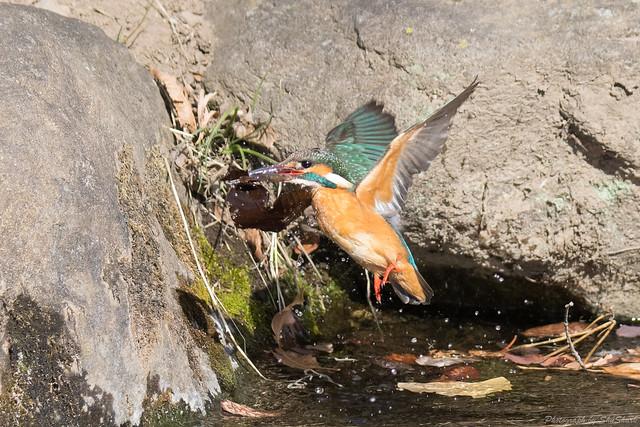 20180212-kingfisher-DSC_9032