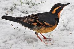 American Robin, Hermit  Thrush & Varied Thrush