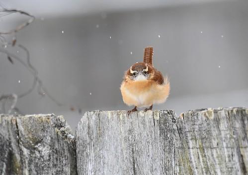 Carolina Wren- snowy morning