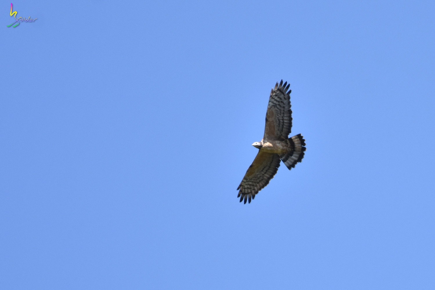 Honey_Buzzard_6066