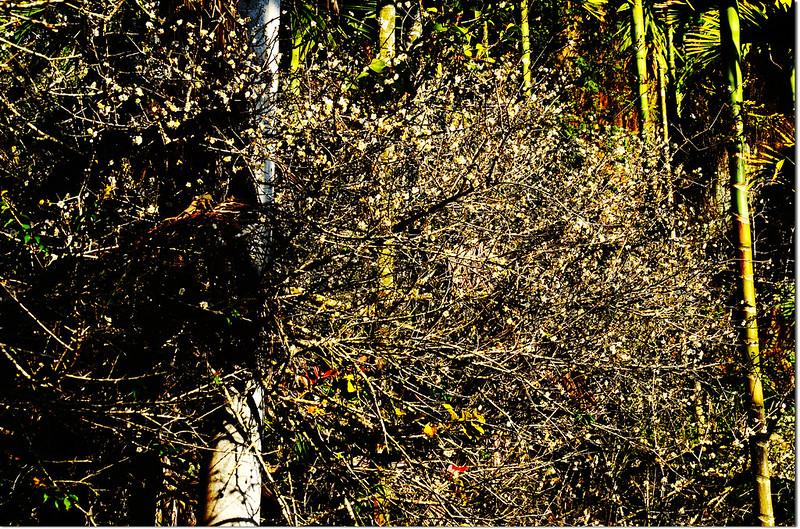 石峽頂山的梅花