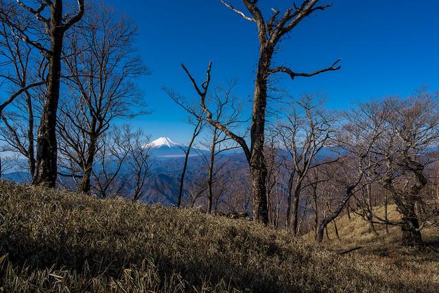 ブナ林と富士@熊笹ノ峰