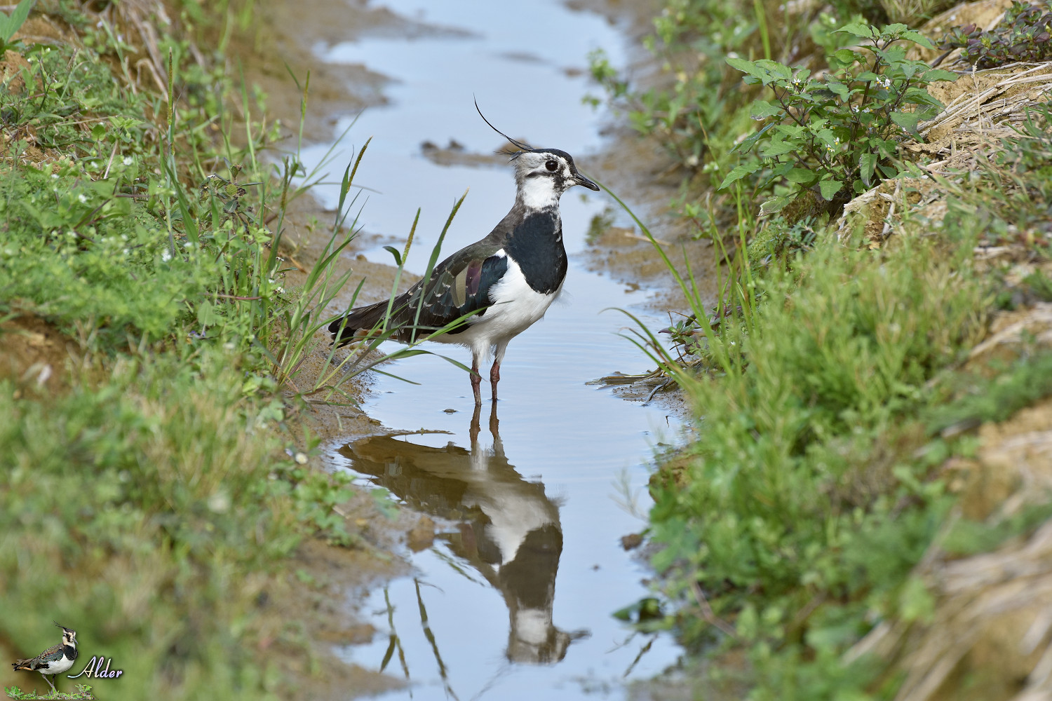 Northern_Lapwing_7995