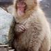 Snow Monkey Park Japan 2018, fur-ball young monkey WM
