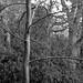 Bare Tree (Stanley Burn Wood)