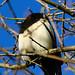 Magpie in an oak tree