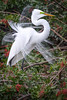 Great egret (Ardea alba) in breeding plumage at Venice Rookery, Venice, Florida by diana_robinson
