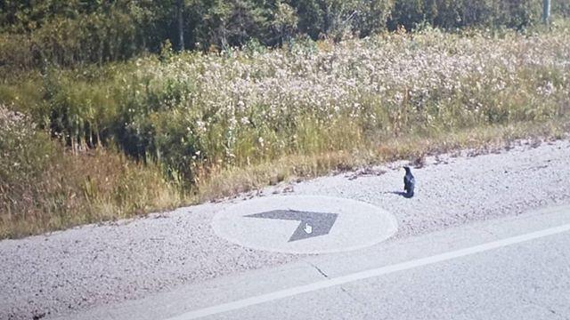 Crow and the late summer wild flowers. #ridingthroughwalls #xcanadabikeride #googlestreetview #ontario