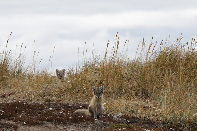Two young Arctic foxes, Vulpes Lagopus, in fall colours with one hiding behind grass, near their den