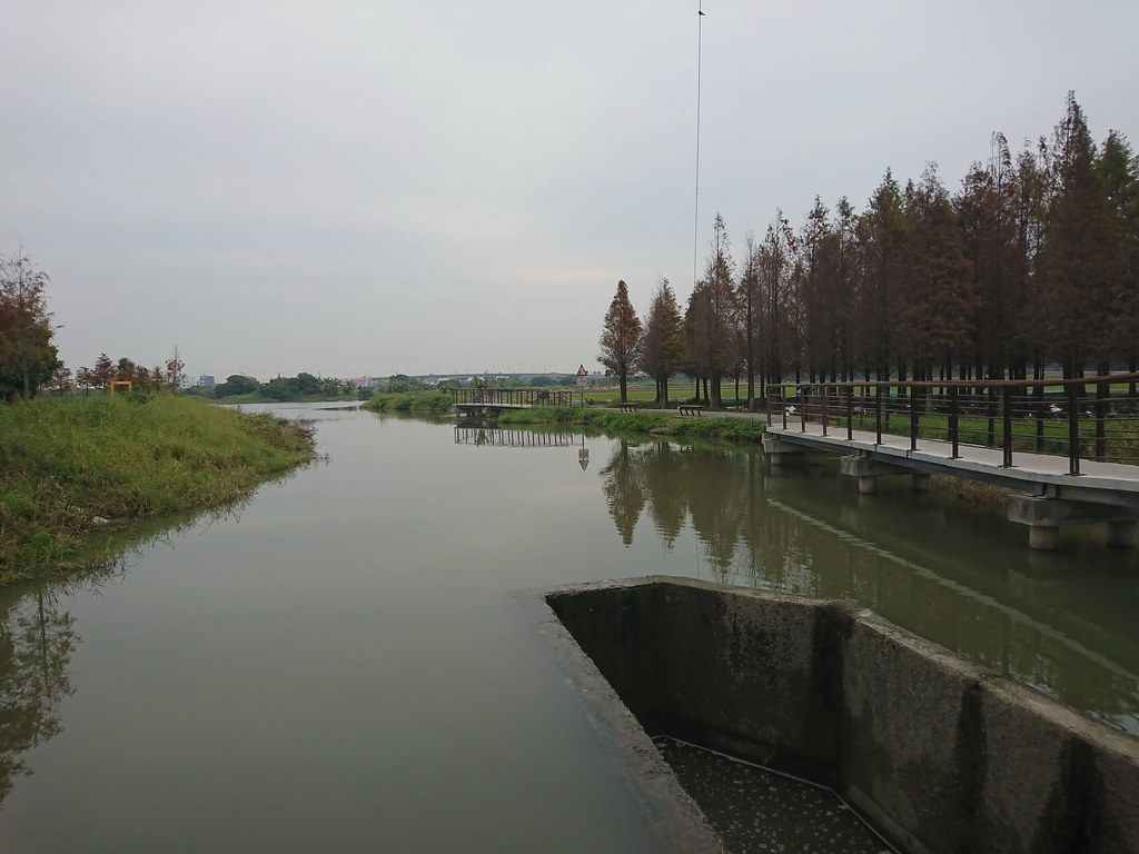 六甲落羽松 (3)