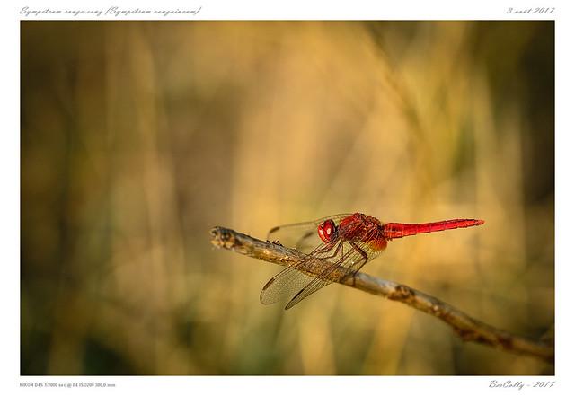 Sympetrum rouge-sang | Symptetrul sanguineum