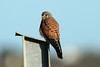 Falco tinnunculus ♂ (Common Kestrel) - Guernsey