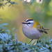 Firecrest by KHR Images