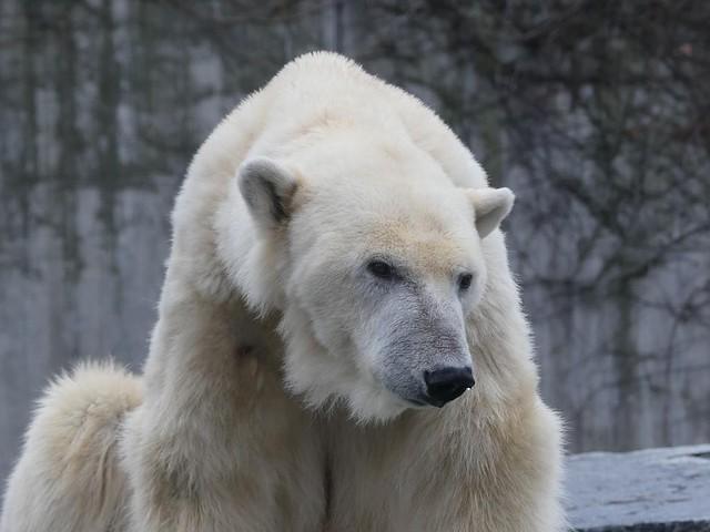 Eisbär Corinna, Wilhelma