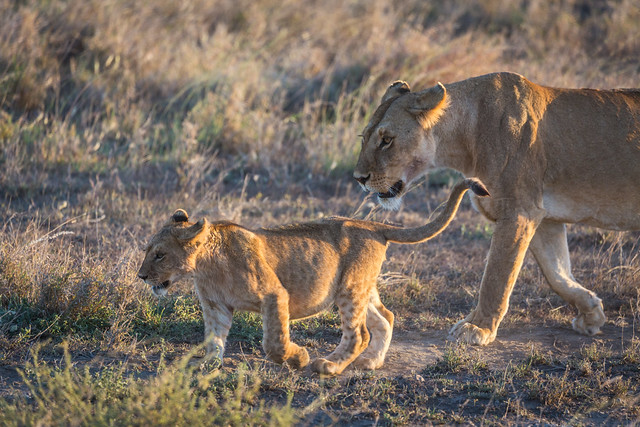 Lion and Cub Coming Home