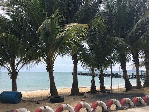 Koh samui  growing coconuts.  had planted in 2010-coconuts carnival.