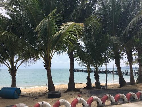 Koh samui  growing coconuts.  had planted in 2010-coconuts carnival.