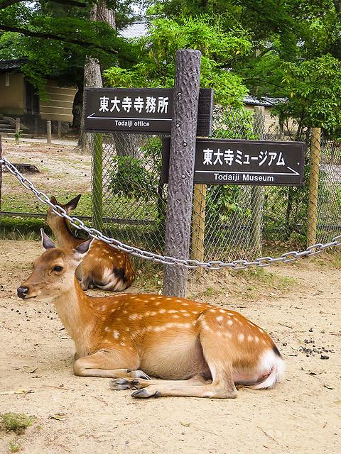 IMG_6649 Deer @Nara park Japan
