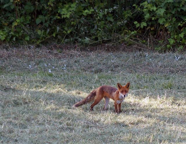foxC03701