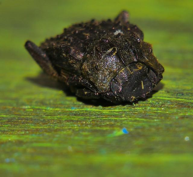 Flea legged dung roller Beetle Amphistomus sp Scarabaeinae 7mm long Airlie Beach rainforest P1190254