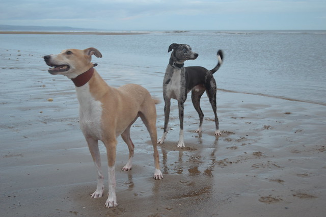 Lurcher run on Crimdon Beach