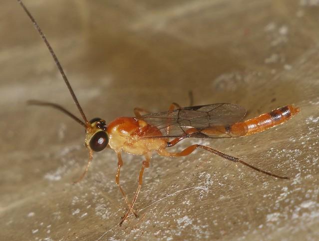 7mm long Night wasp Cremastinae Ichneumonidae attracted to light Airlie Beach rainforest P1160250