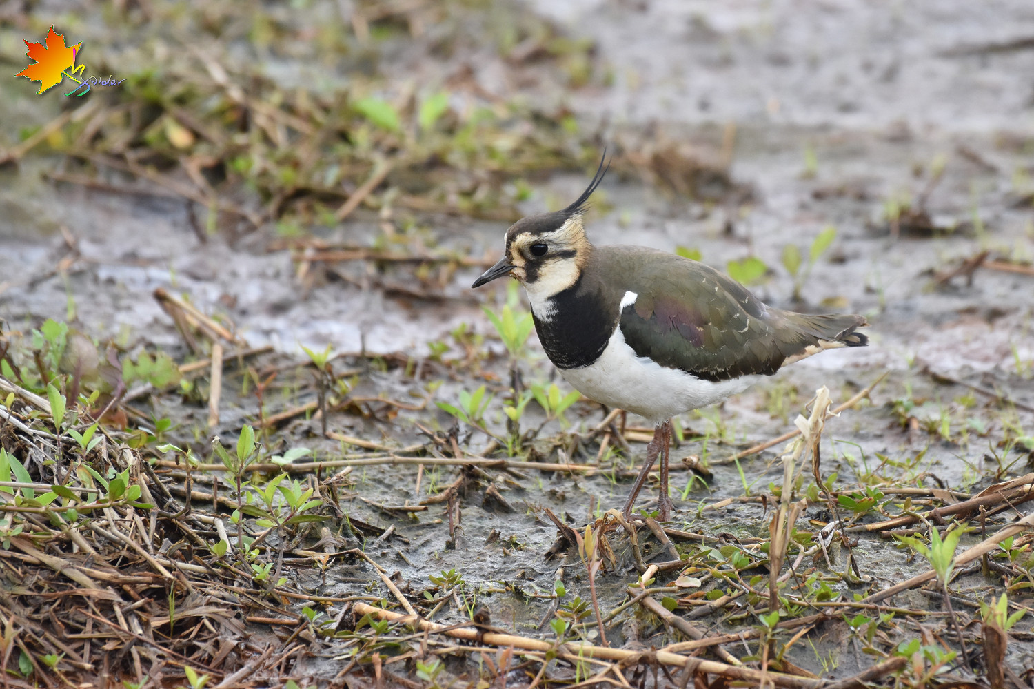 Northern_Lapwing_8717
