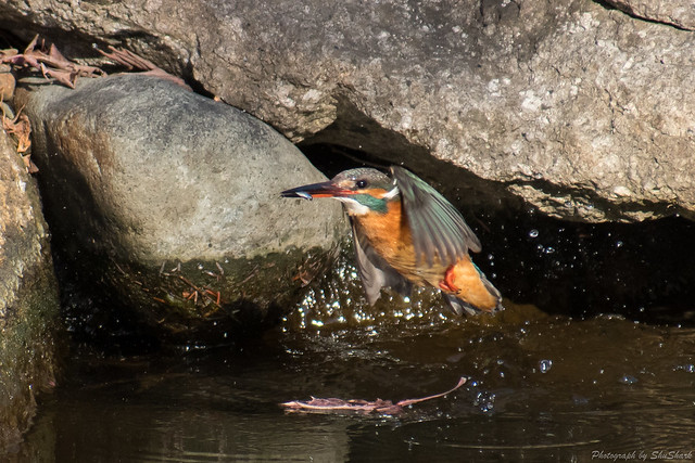 20180126-kingfisher-DSC_5740
