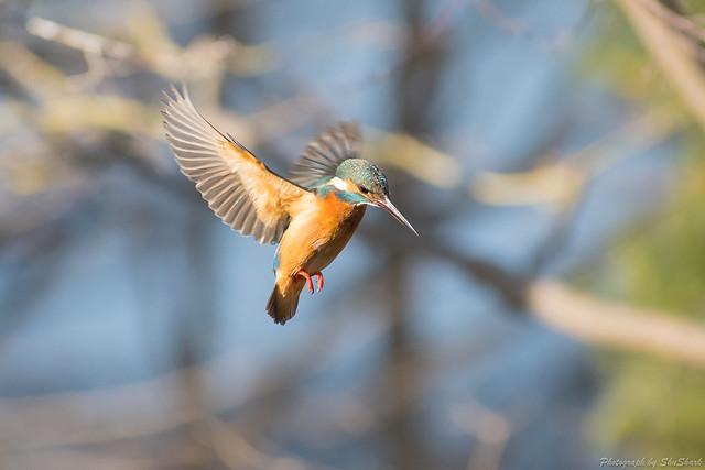 20180129-kingfisher-DSC_6554