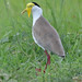 Masked lapwing, Vanellus miles